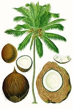 Coconut species of plant