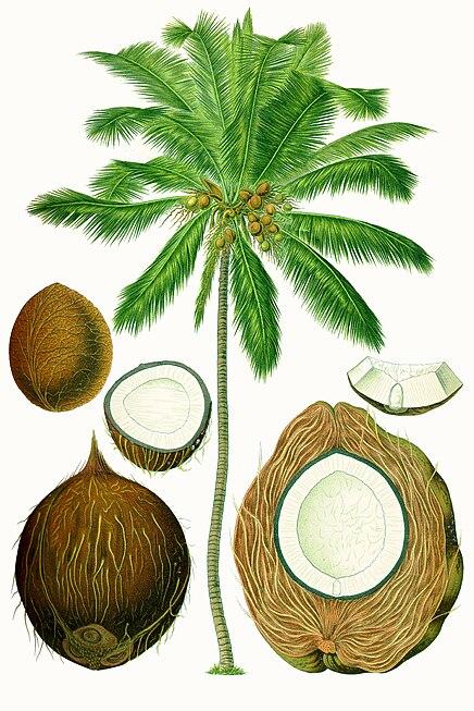 Cocos nucifera - Köhler–s Medizinal-Pflanzen-187