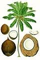 Cocos nucifera - Köhler–s Medizinal-Pflanzen-187.jpg