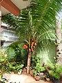 Cocos nucifera yellow-1-jaffna-Sri Lanka.jpg