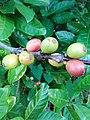 Coffea (Rubiaceae) 01.jpg
