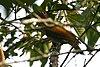 Colaptes rubiginosus (male) -Costa Rica-8