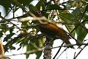 Colaptes rubiginosus (male) -Costa Rica-8.jpg