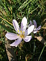 Colchicum hungaricum close-up 001.JPG