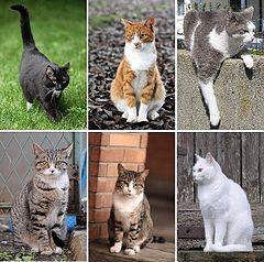 Kot Domowy Wikipedia Wolna Encyklopedia