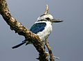 Collared kingfisher american samoa.jpg