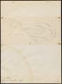 Collyrio excubitor - 1700-1880 - Print - Iconographia Zoologica - Special Collections University of Amsterdam - UBA01 IZ16600375.tif
