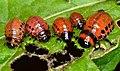 Colorado potato beetle larvas (Leptinotarsa decemlineata).jpg