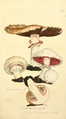 Coloured Figures of English Fungi or Mushrooms - t. 305.png