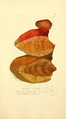 Coloured Figures of English Fungi or Mushrooms - t. 345.png