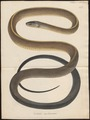 Coluber melanurus - 1700-1880 - Print - Iconographia Zoologica - Special Collections University of Amsterdam - UBA01 IZ12100225.tif
