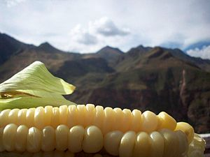 Peruvian corn - Peruvian corn, referred to as choclo in Spanish