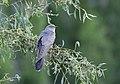 Common Cuckoo (Cuculus canorus) (45435318271).jpg