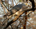Common Hawk Cuckoo (Cuculus varius) in Hyderabad W IMG 7374.jpg