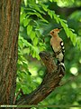 Common Hoopoe (Upupa epops) (18523240512).jpg