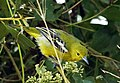 Common Iora (Aegithina tiphia) Female.JPG