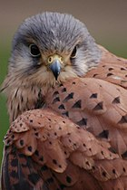 Common Kestrel.jpg