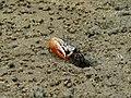 Common Orange Fiddler Crab (Uca vocans) (6761409079).jpg