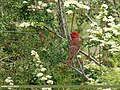 Common Rosefinch (Carpodacus erythrinus) (37008879136).jpg