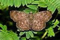Common Small Flat Sarangesa dasahara by Dr. Raju Kasambe DSCN7727 (7).jpg