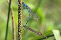 Common blue damselflies (Enallagma cyathigerum) (heterochrome female) in tandem.jpg