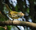 Common tailorbird (22065091338).jpg
