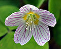 Common wood sorrel blossom (aka).jpg