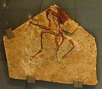 Concornis lacustris 438