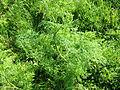 Conium maculatum Hauxley 3.jpg