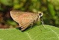 Conjoined Swift Pelopidas conjuncta UN by Dr. Raju Kasambe DSCN4060 (3).jpg