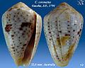 Conus coronatus 1.jpg