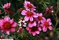 Coreopsis rosea Heavens Gate 2zz.jpg