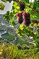 Corinthian raisin.jpg