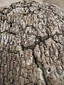 Cork's bark (up).jpg