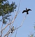 Cormorants (31254176401).jpg
