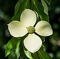 Cornus capitata in Christchurch Botanic Gardens 04.jpg