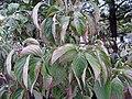 Cornus florida 6zz.jpg