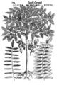Cornut 1635 Acacia americana Robini.png