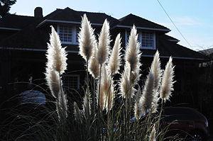 English: Pampas grass (Cortaderia selloana), A...