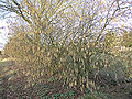 Corylus avellana, hazelnoot 'Cosford'.jpg