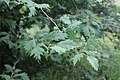 Corylus avellana 'heterophylla'.jpg