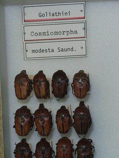 File:Cosmiomorphamodesta.JPG