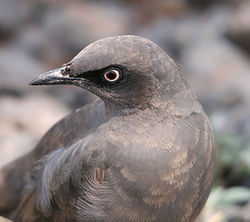 Cosmopsarus unicolor Ashy Starling Head.JPG