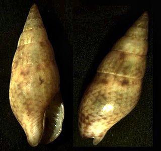 <i>Costoanachis</i> Genus of gastropods