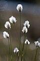 Cotton-grass 2520560829.jpg