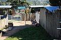 Cougar mountain zoo 0249.JPG