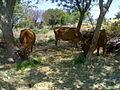 Cows in Iluppaiyur.jpg