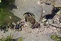 Crab (40827220200).jpg