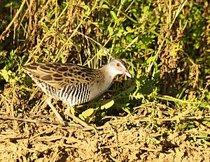 African crake - In South Africa