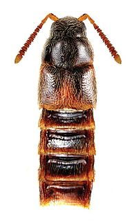 <i>Crataraea</i> Genus of beetles